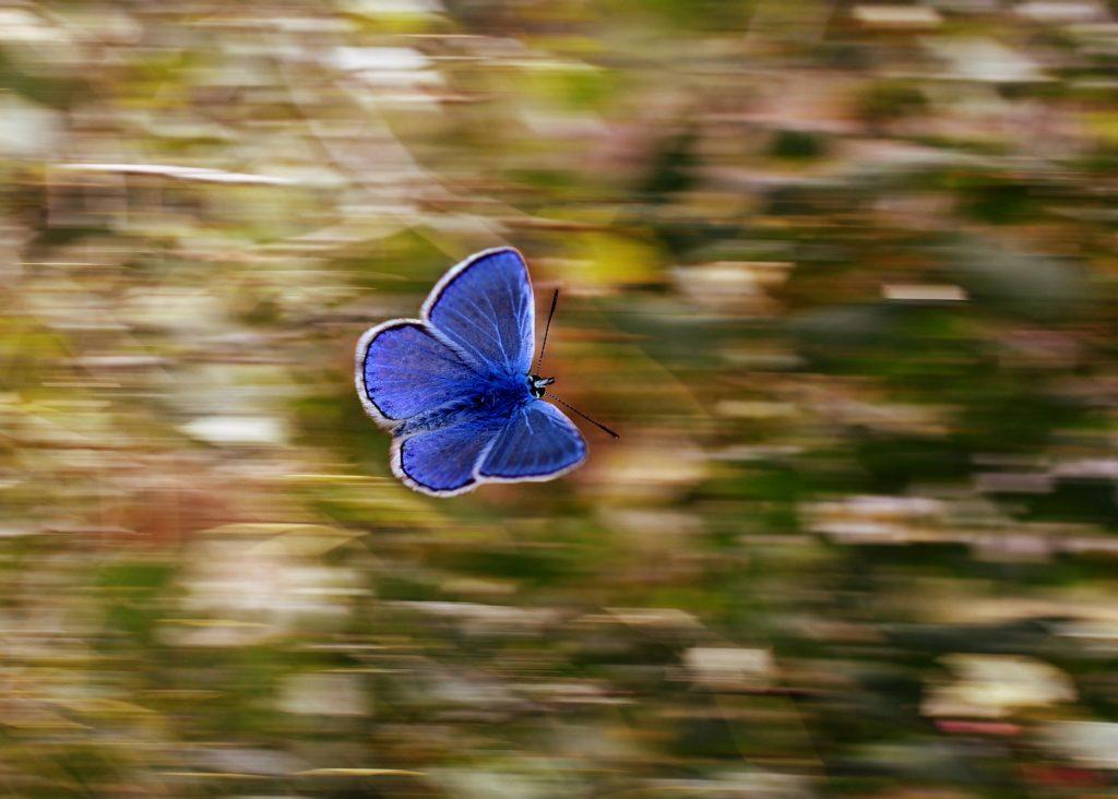Una mariposa azul volando, el fondo está desenfocado de lo rápido que se mueve