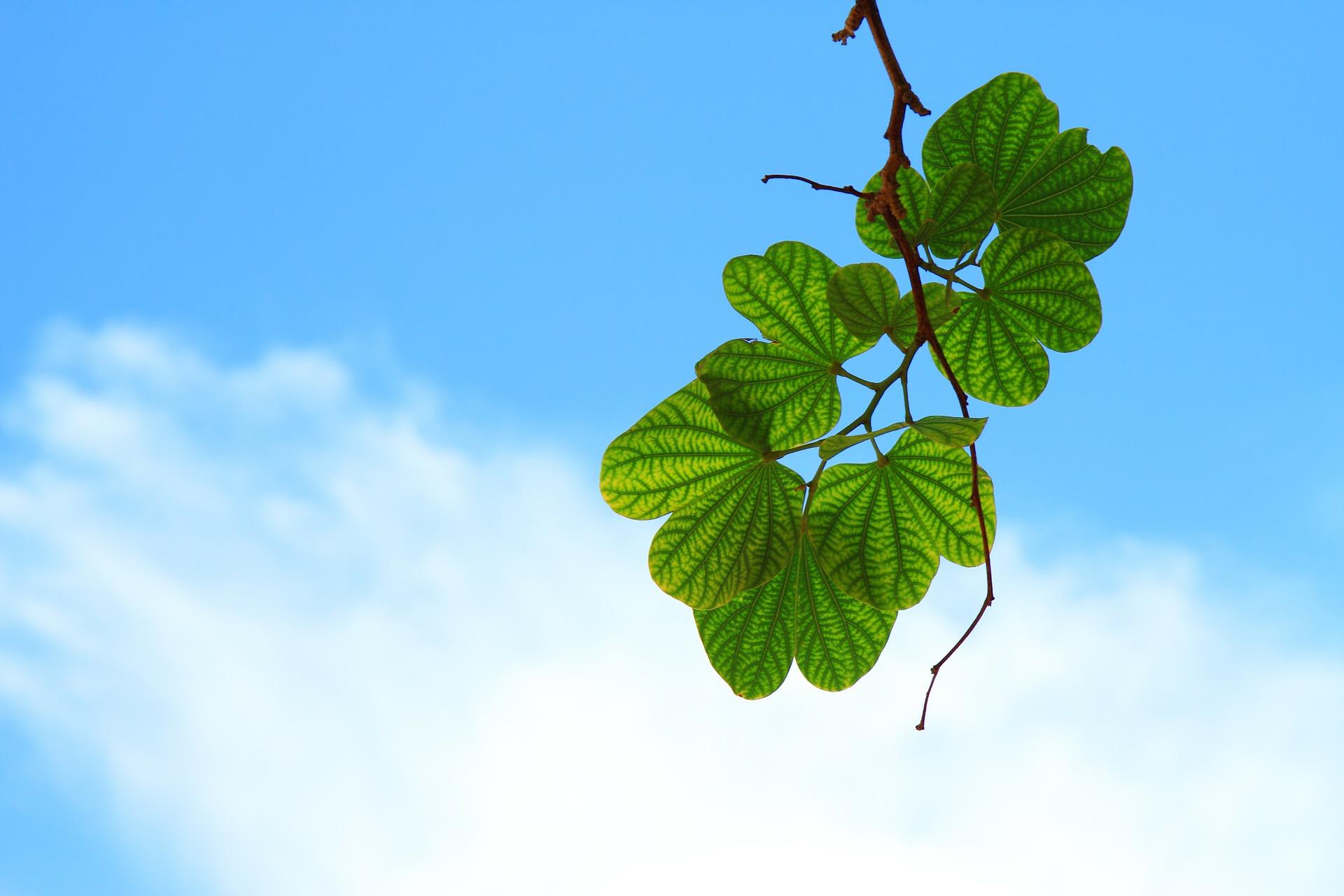 Hojas verdes de un árbol vistas desde abajo. Al fondo, el cielo azul con una nube
