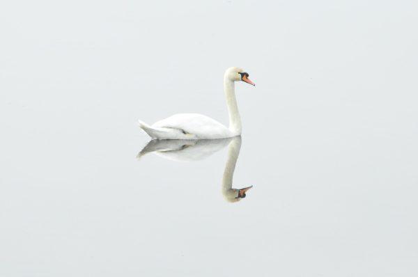 Un cisne blanco reflejado en la superficie del agua