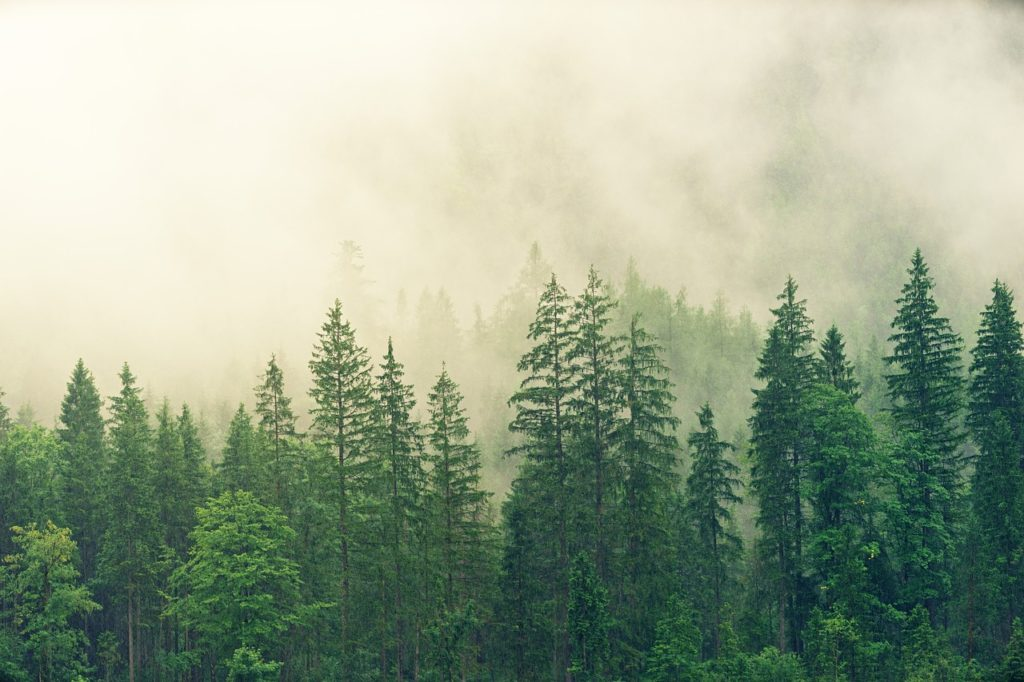 Fotografía aérea de un bosque de abetos con niebla