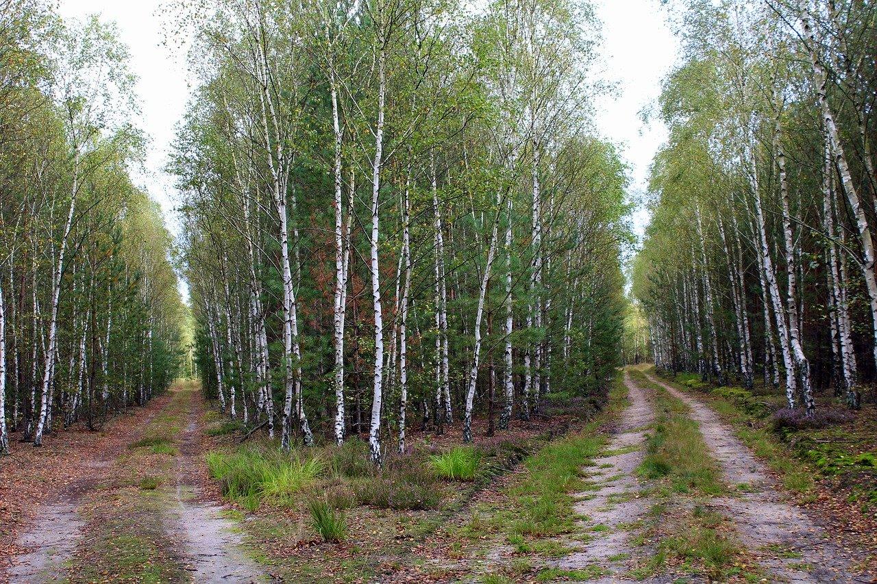 Un cruce de caminos en un bosque de abedules